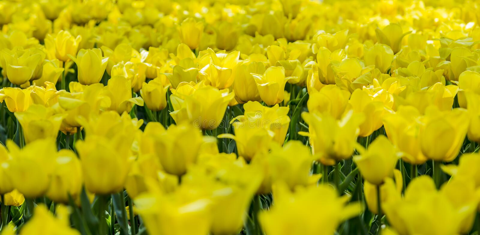 Beautiful bright yellow tulips on a large flower-bed in the city garden, close up stock images