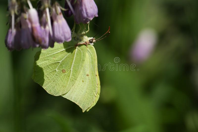 A pretty Brimstone Butterfly, Gonepteryx rhamni, nectaring on a Comfrey flower. A beautiful Brimstone Butterfly, Gonepteryx rhamni, nectaring on a Comfrey stock photo