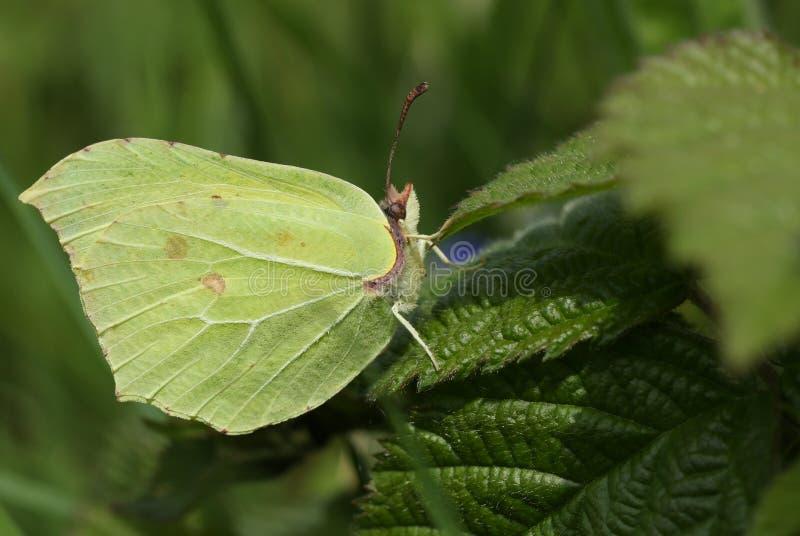 A pretty Brimstone Butterfly, Gonepteryx rhamni, perched on a bramble leaf. A beautiful Brimstone Butterfly, Gonepteryx rhamni, perched on a bramble leaf stock image