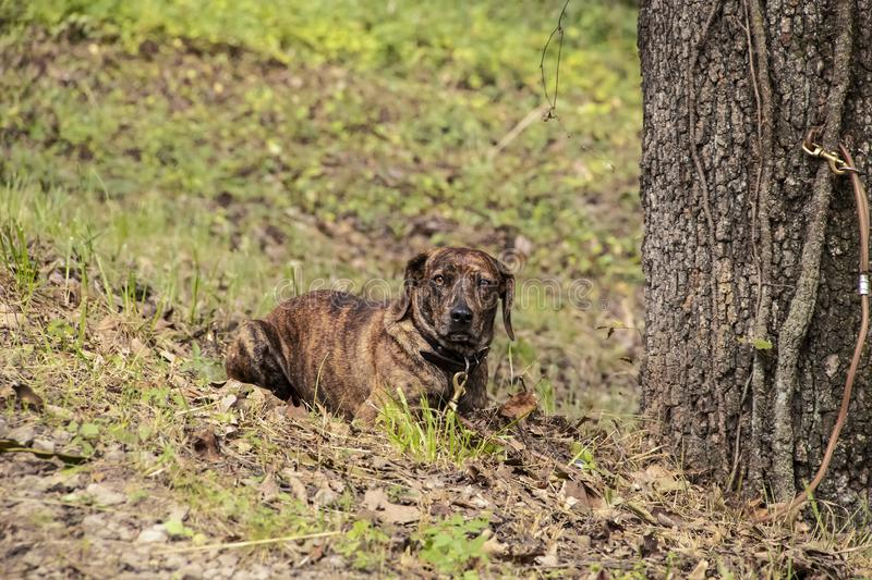 Beautiful brindle hound dog lying in the grass with its leash tied to a tree.  stock photo