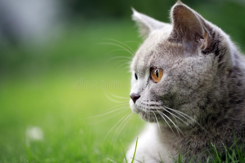 British Cat On The Grass. Beautiful British Cat On The Green Grass and looking away royalty free stock photography
