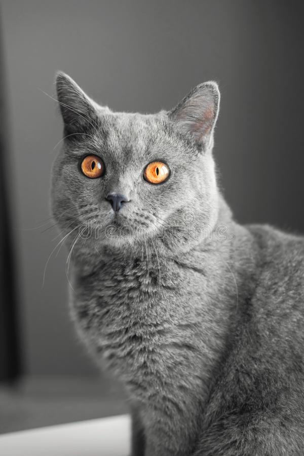 Gray cat close-up portrait, Gray background, large yellow eyes royalty free stock photography