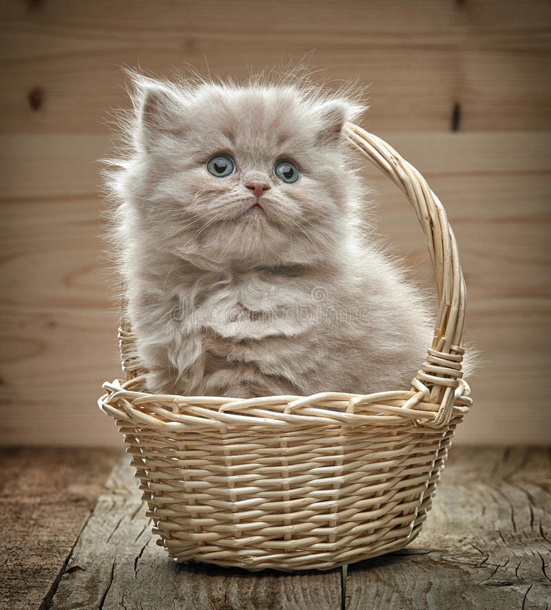 Beautiful british long hair kitten in a basket stock photo