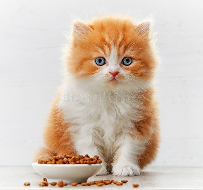 Beautiful british long hair kitten and cat food bowl. Beautiful british long hair kitten and bowl of cat food royalty free stock images