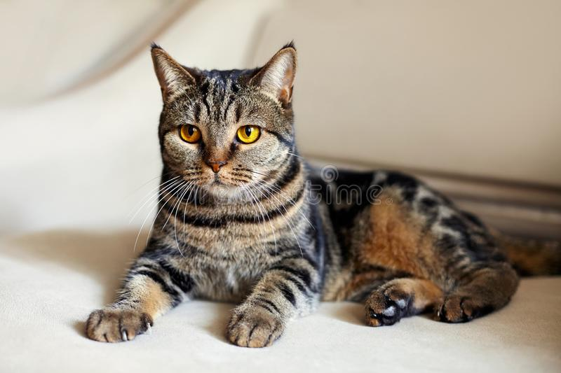 Beautiful british short hair cat with bright yellow eyes lais on the beige sofa looking with great expression. Tabby color tiger. сute cat at home. Indoors royalty free stock images