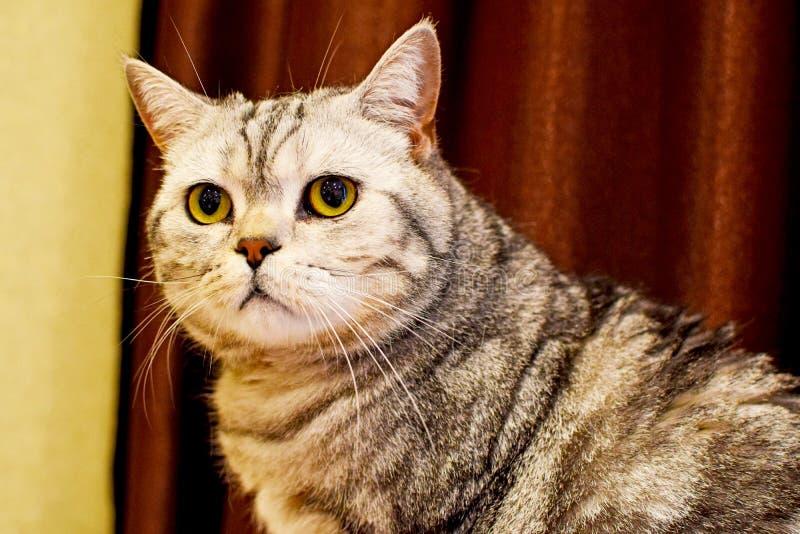 Beautiful british shorthair cat on a brown background. Beautiful british shorthair and striped cat on a brown background. Bright yellow eyes of a british cat stock photo