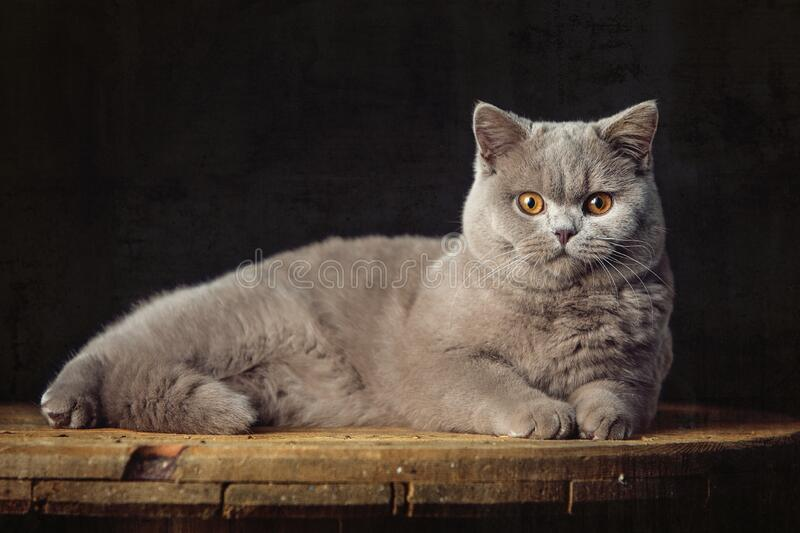 A beautiful Lilac British Shorthair cat stock images