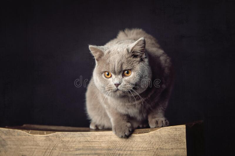 A beautiful Lilac British Shorthair cat on a stool royalty free stock image