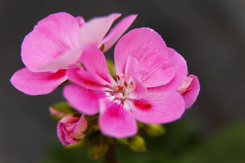 Beautiful and brittle pink flower royalty free stock photography