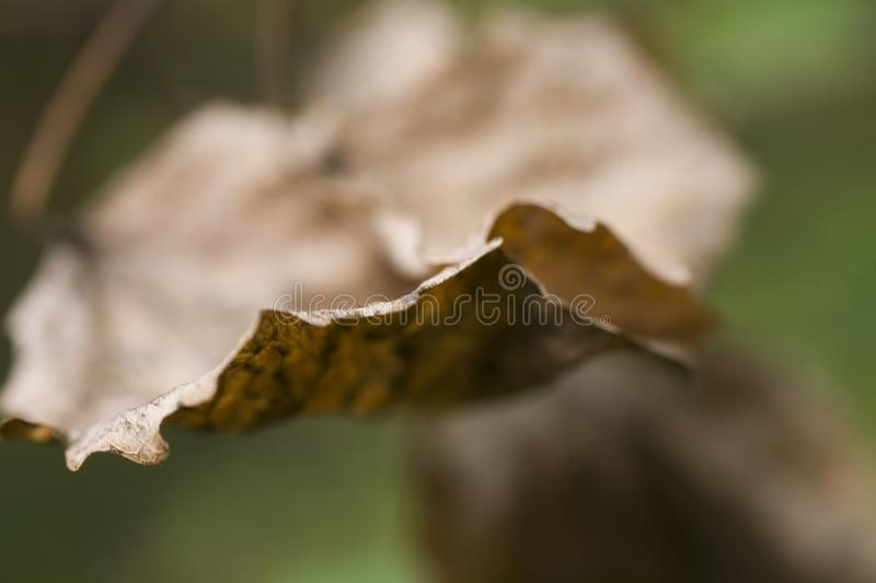 Brown autumn leaves on a green background close-up stock images