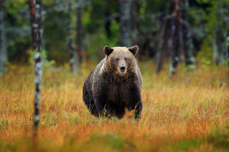 Beautiful brown bear walking around lake with fall colours. Dangerous animal in nature wood, meadow habitat. Wildlife habitat from. Russia. Autumn trees with stock image
