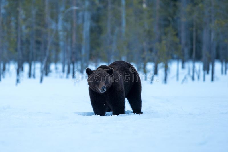 Beautiful brown bear walking in the snow during winter in Finland, taiga forest in a background, adventure with dangerous mammal stock photography