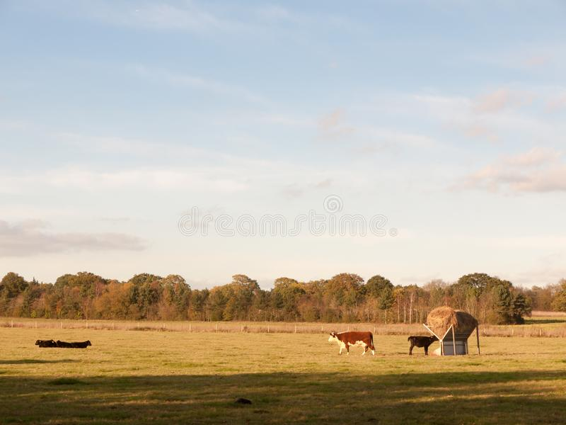 Beautiful brown and black cows on green land pasture eating royalty free stock images