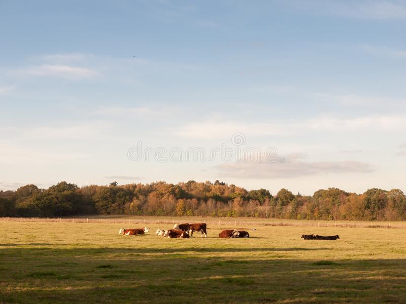 Beautiful brown and black cows on green land pasture eating stock image