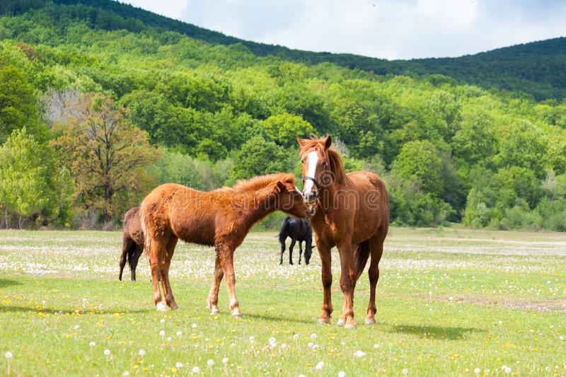 Beautiful brown and black horses eating grass and grazing in a meadow and green field. Sunny day royalty free stock photo