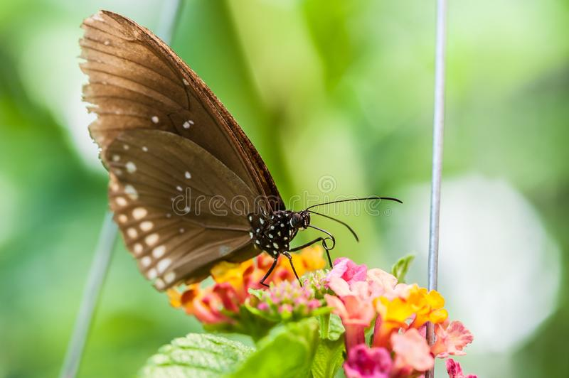 Beautiful brown butterfly sucks nectar from the flower. Macro photography royalty free stock photography