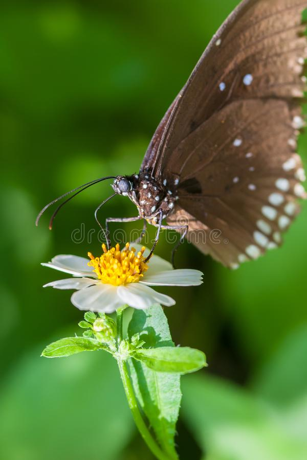Beautiful brown butterfly sucks nectar from the flower stock photos