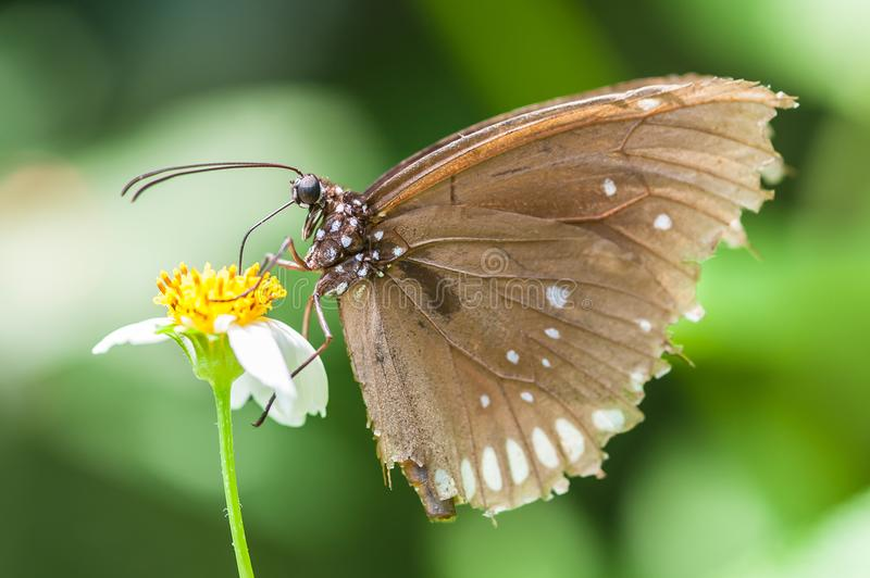 Beautiful brown butterfly sucks nectar from the flower. Macro photography royalty free stock images