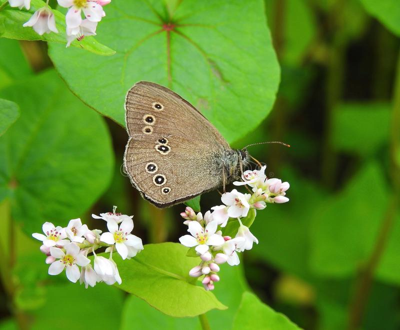 Beautiful brown butterfly on white flowers , Lithuania royalty free stock photos