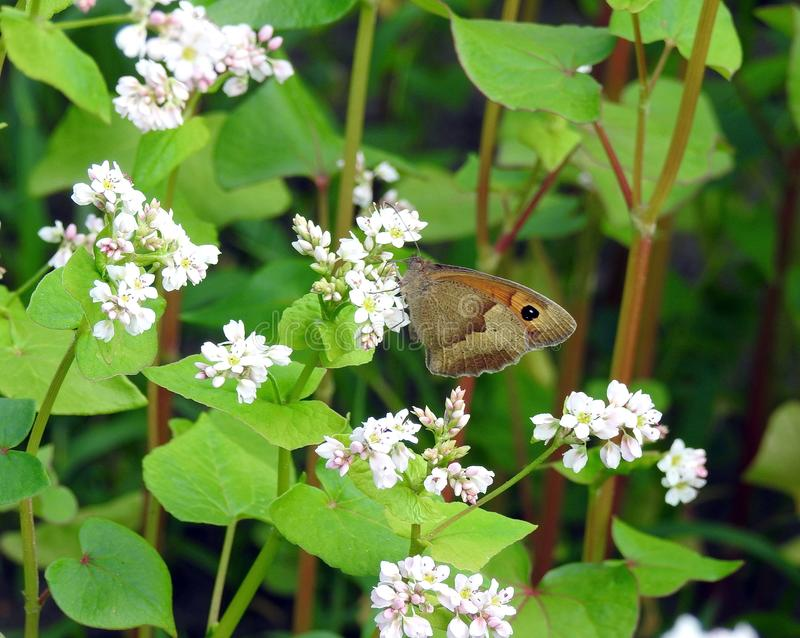 Beautiful brown butterfly on white flowers , Lithuania stock photo