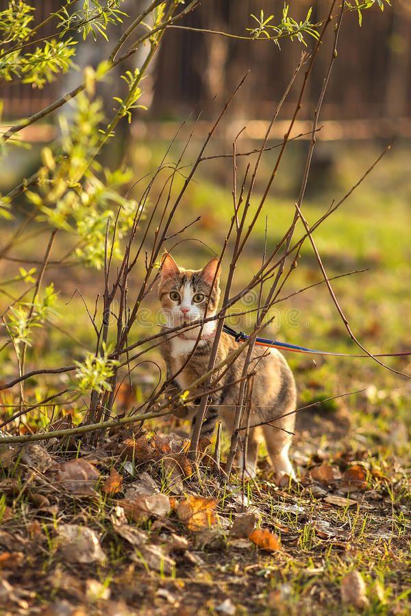 The beautiful brown cat hunts in a green grass and stock photography