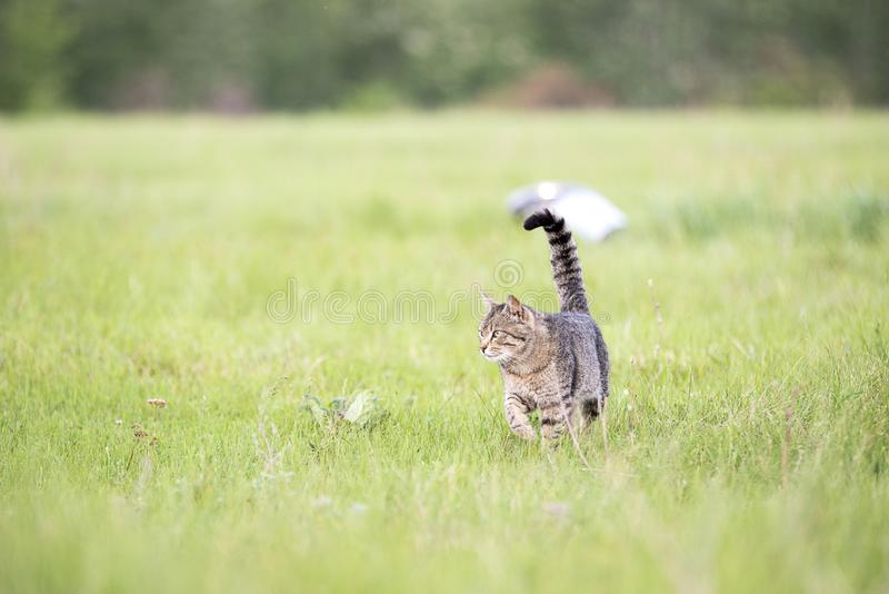 Beautiful brown cat with stripes walks on the field with green grass on a summer day. Beautiful cute brown cat with stripes walks on the field with green grass stock images