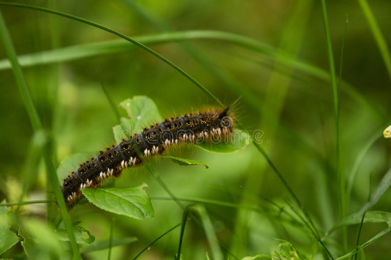 A beautiful brown caterpillar sitting on a green grass. royalty free stock photo