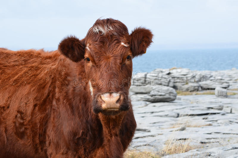 Beautiful Brown Cow on the Burren in Ireland royalty free stock photos