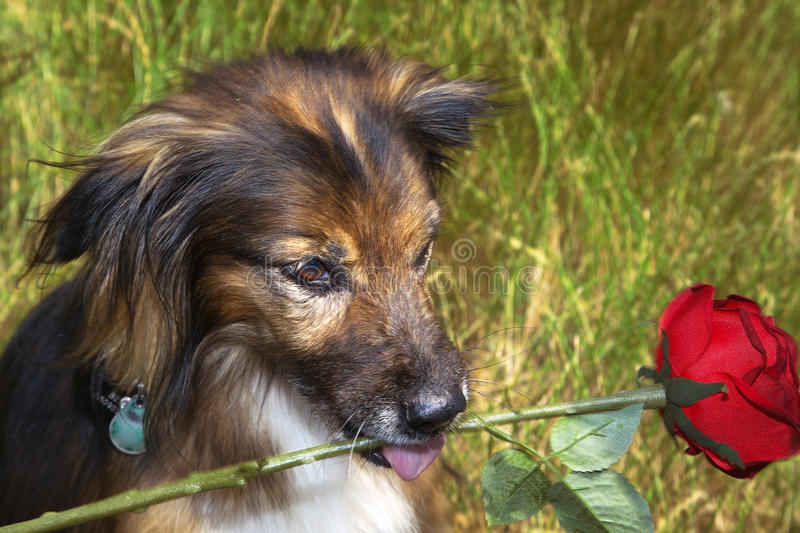 Beautiful brown dog in nature with rose stock photo