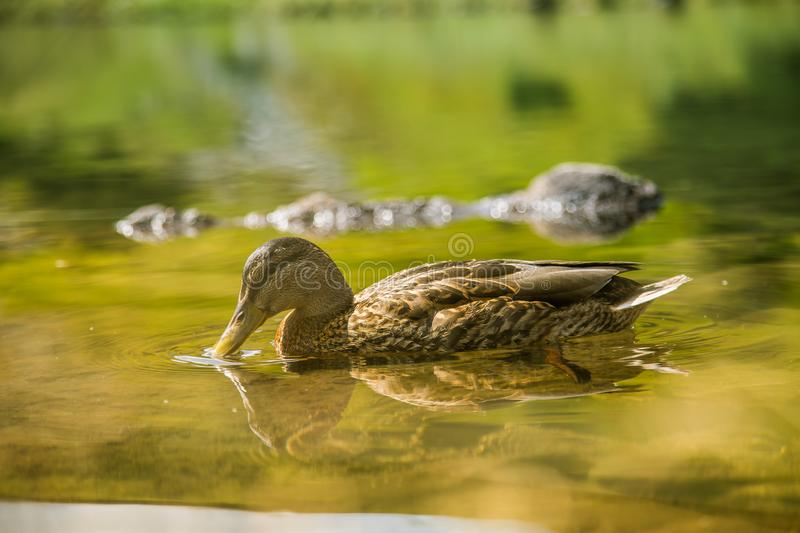A beautiful brown female duck swimming in the mountain lake. Mountain landscape with birds. royalty free stock photography