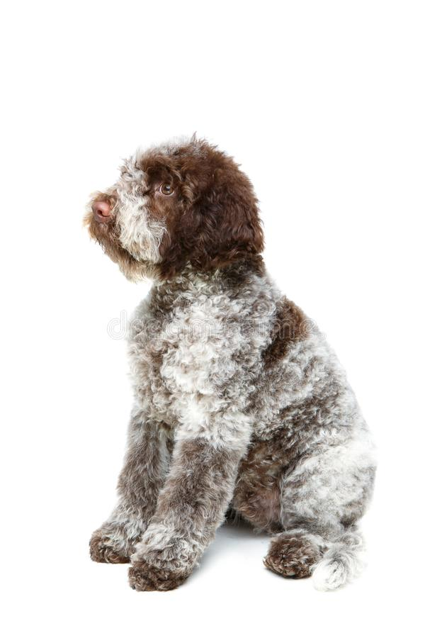 Beautiful brown fluffy puppy royalty free stock image