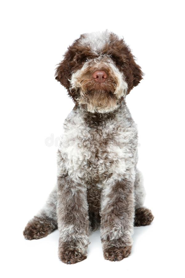 Beautiful brown fluffy puppy stock photos