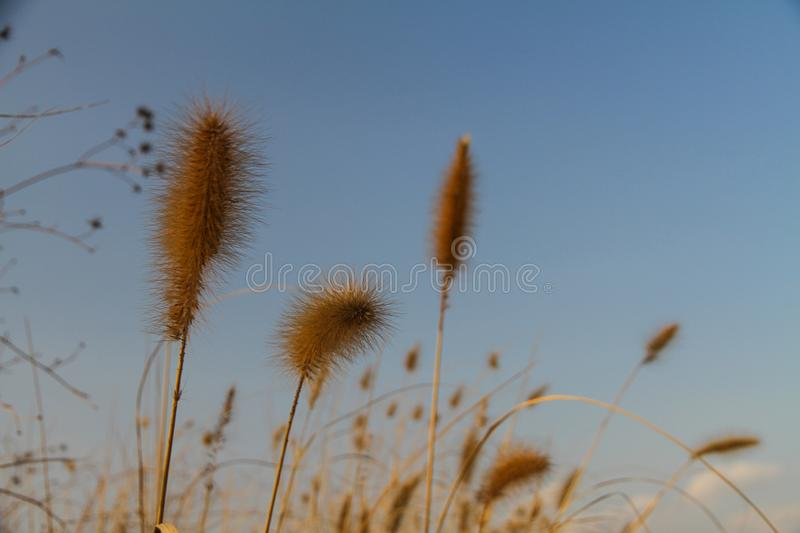 Beautiful brown grass flowers have a blurry sky as the background royalty free stock images