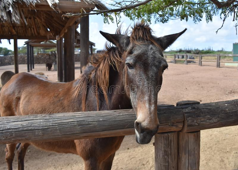 Beautiful Brown and Gray Horse Standing in a Dirt Paddock royalty free stock image
