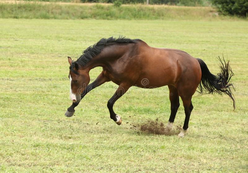 Beautiful brown horse jumping in freedom royalty free stock images