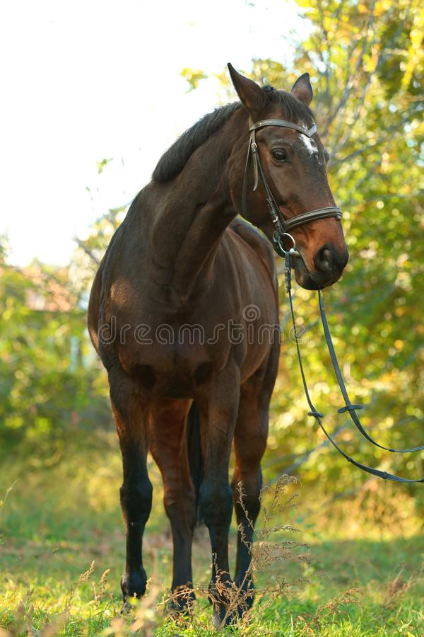 Beautiful brown horse in leather bridle. Outdoors royalty free stock images