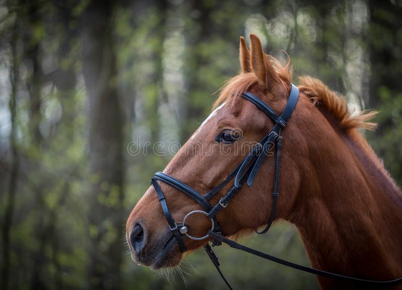 Beautiful brown horse portrait with bridle in the spring forest stock photo