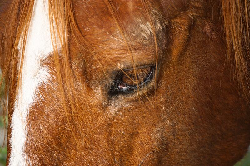 Beautiful brown horse portrait in the farm. In the nature royalty free stock image