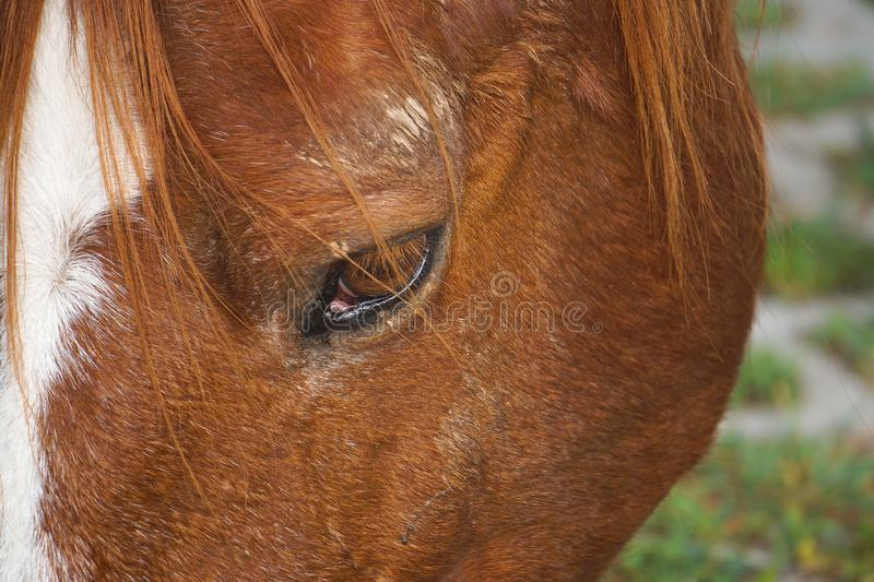 Beautiful brown horse portrait in the farm in the nature. The beautiful brown horse portrait grassing in the farm in the nature royalty free stock photography