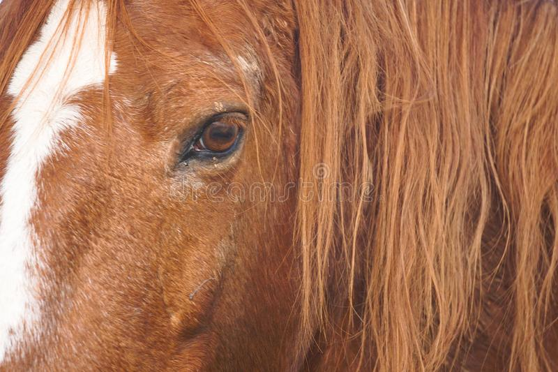Beautiful brown horse portrait in the farm in the nature. The beautiful brown horse portrait grassing in the farm in the nature royalty free stock image