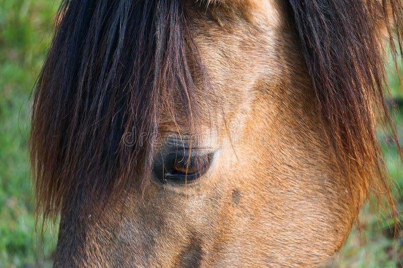 Beautiful brown horse portrait in the farm in the nature. The beautiful brown horse portrait grassing in the farm in the nature royalty free stock photos