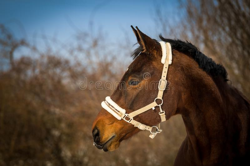 Beautiful brown horse portrait with white bridle in the spring forest royalty free stock images