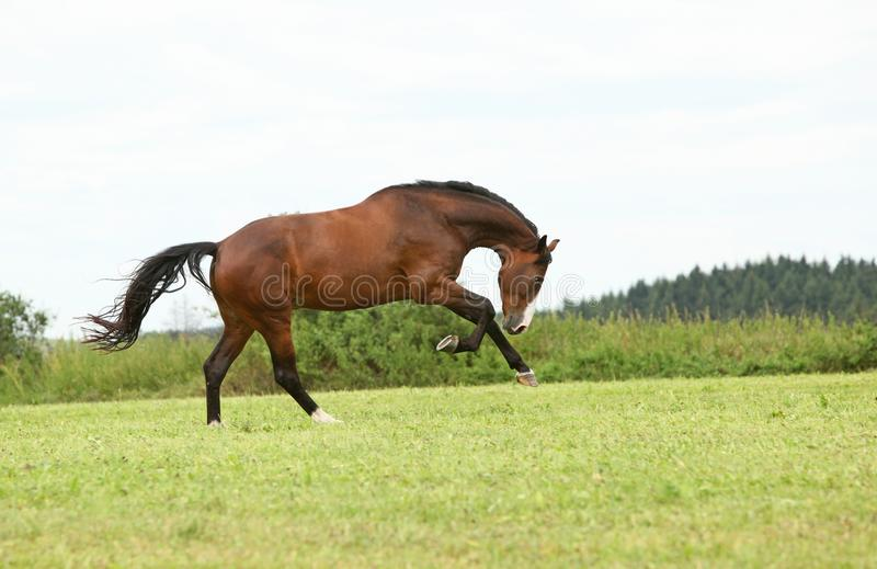 Beautiful brown horse running in freedom stock images