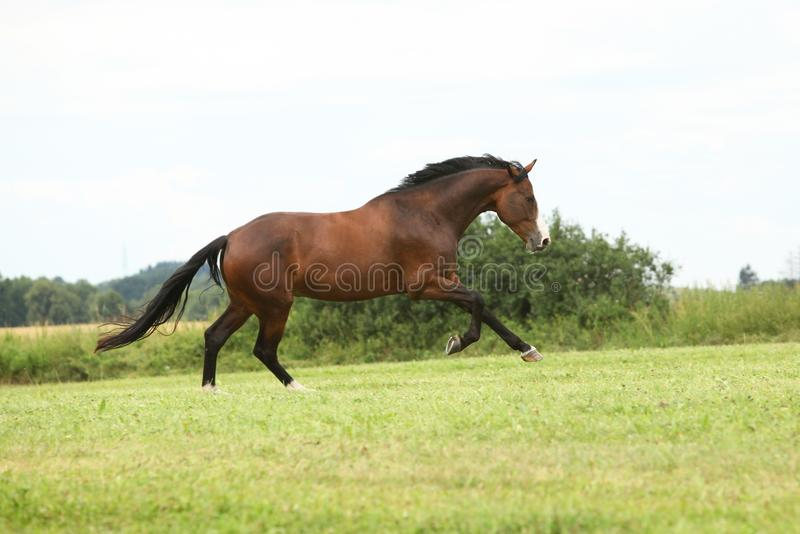 Beautiful brown horse running in freedom royalty free stock image