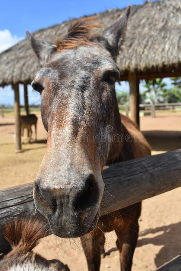Gorgeous Brown Horse Standing at the Fence Rail royalty free stock photos