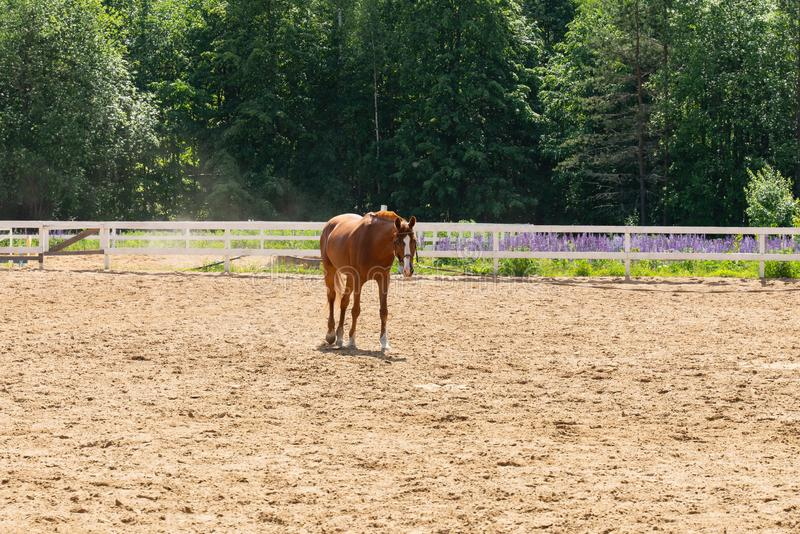 Brown horse walking in a fenced field on a background of green trees royalty free stock image