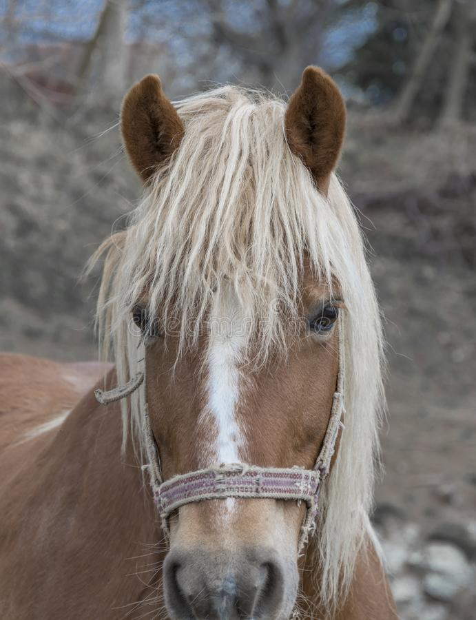 Beautiful brown horse with white mane royalty free stock images