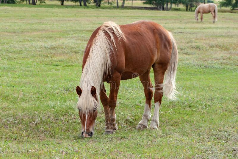 Beautiful brown horse with a white mane and tail on a pasture nibbles fresh green grass. Ranch, summer. Warm day stock photo