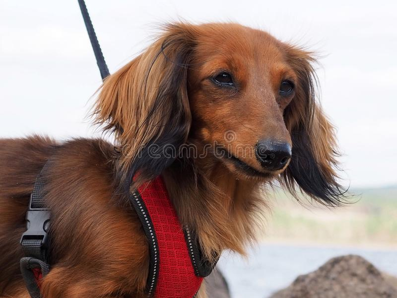 Long haired dachshund. Beautiful brown long haired dachshund outdoors on a walk stock photo