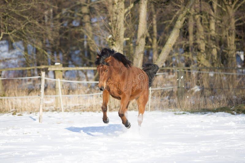 Beautiful brown mare running in winter stock photo
